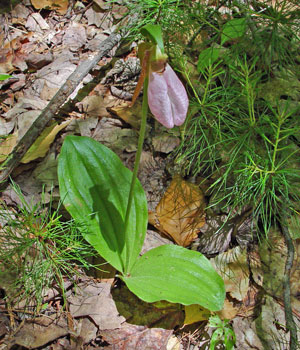 photograph of a pink lady's-slipper