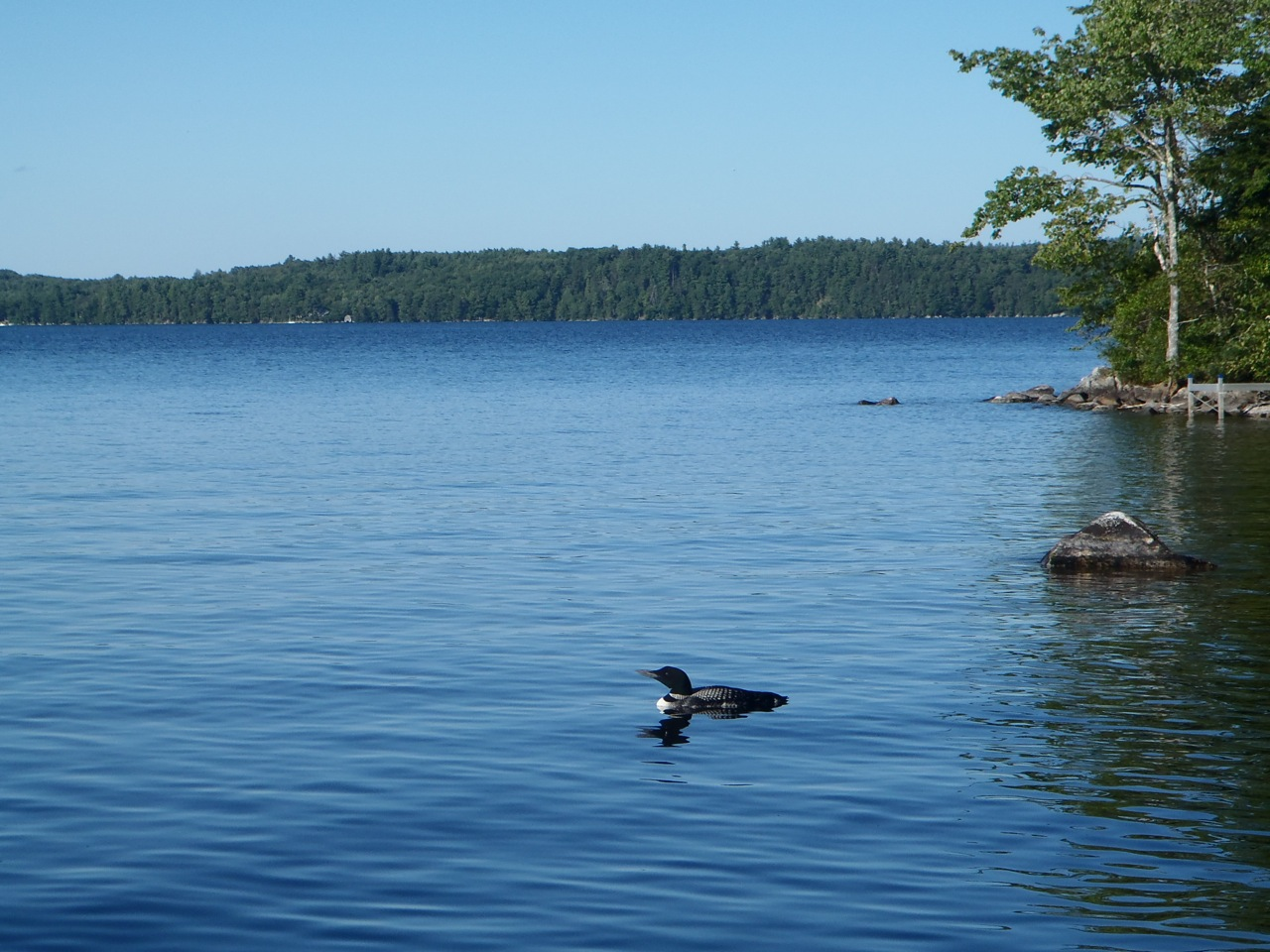 A Loon on Great Pond